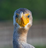 Cormorant with attitude! This would be much much funnier if my neck weren't beginning to resemble his!!