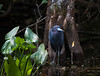 Little Blue Heron in the lushness of  Big Cypress Preserve in front of cypress knees and next to that tenatious last leaf.