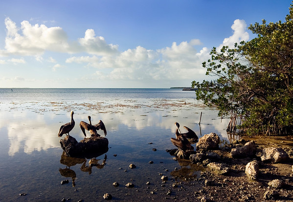 Pelicans preen in a quintessential Florida Bay setting in the late afternoon with soft reflected clouds and mangroves nearby.