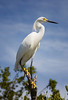 "Snowy Egret aka ""the bird with the golden slippers' - Key Largo"