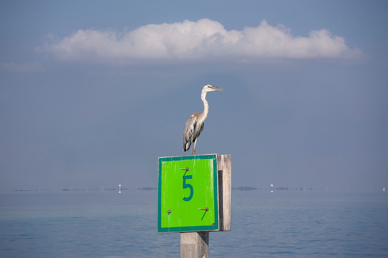 Key West near Key West Wildlife Refuge: Unclear on whether this may be considered a Wurdemann's Heron as the head appears much whiter than a typical Great Blue Heron yet it does have some dark markings above the eye. The area does have many Great White/Great Blue Wurdemann's examples. Perched on marker No 5 and in the soft late day light the colors with cloud above had a slightly unreal feel to it.