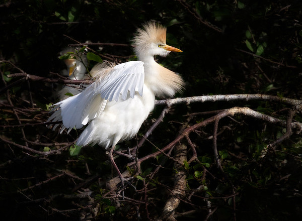 Cattle Egret alights next to its nest and exhibits its rust/orangey mating plumage. Its mate is visible in the background sitting on the nest.