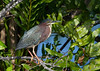 Green Heron perches in a verdant setting of ferns