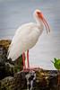 Ibis on Coraliferous Rock - Florida Bay - Key Largo-7909