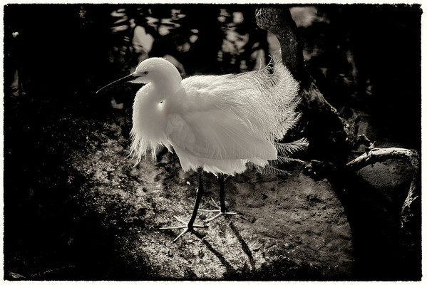 Snowy Egret Fluffing Feathers -Toned Treatment<br /> One of my early favourites for its example of the delicate mating season plumage.