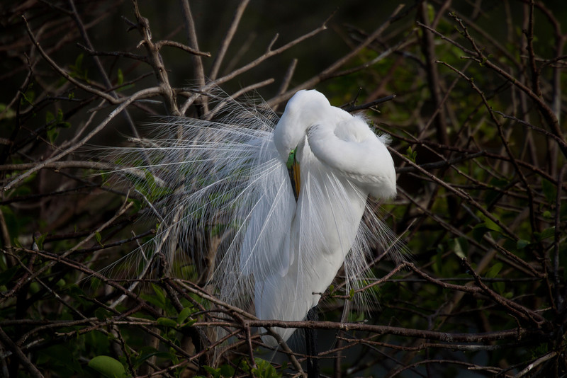 White Egret adorned with the beautiful, gauzy back plumage it wears during the mating season.