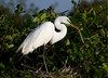 White Egret during mating season with seasonal back plumage and green around the eye and beak actively gathering twigs for nest building.