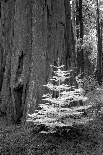 sapling in giant redwoods 5 - Infrared