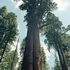 sequoia-king-3
