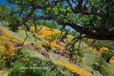 Sierra Foothill Wildflowers 2012-0358