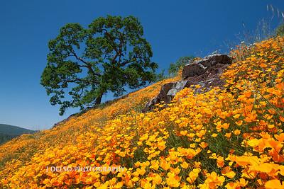 Sierra Foothill Wildflowers 2012-0344