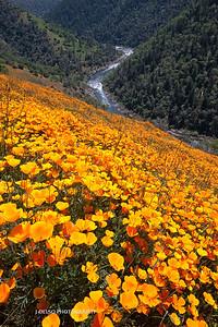 Sierra Foothill Wildflowers 2012-0350