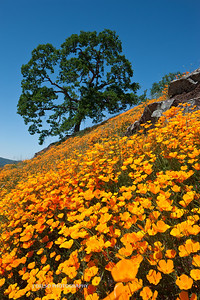 Sierra Foothill Wildflowers 2012-0342