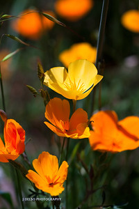 Sierra Foothill Wildflowers 2012-0331