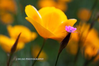 Sierra Foothill Wildflowers 2012-0328