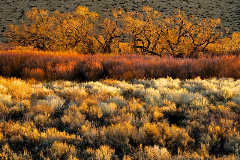 Spring vegetation in the Owens River Valley.