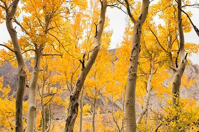 Aspen grove III