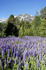 Lake Tahoe Lupine and Mt.Tallac<br /> <br /> Here is a meadow that is hidden from most but with a little effort and some networking you can find it... or ask me and I will let you know where it is next year...<br /> <br /> The snow melt is filling this meadow with about 6 inches of runoff. You have to be careful not to step on little frogs and avoid the mosquitoes. This is my second year here and I still struggle with a great composition...The Lupine are amazing and they are even behind me for about another 200 ft. but you do not have an interesting background like Mt. Tallac with visible snow in July! <br />  <br /> Taken on July 10, 2011 at 7:20 am with wet boots and bug repellent...