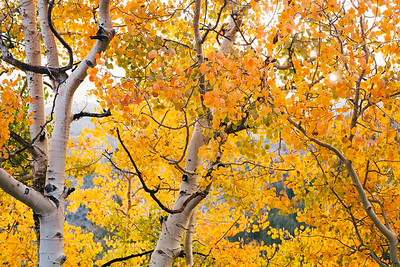 Aspen grove I