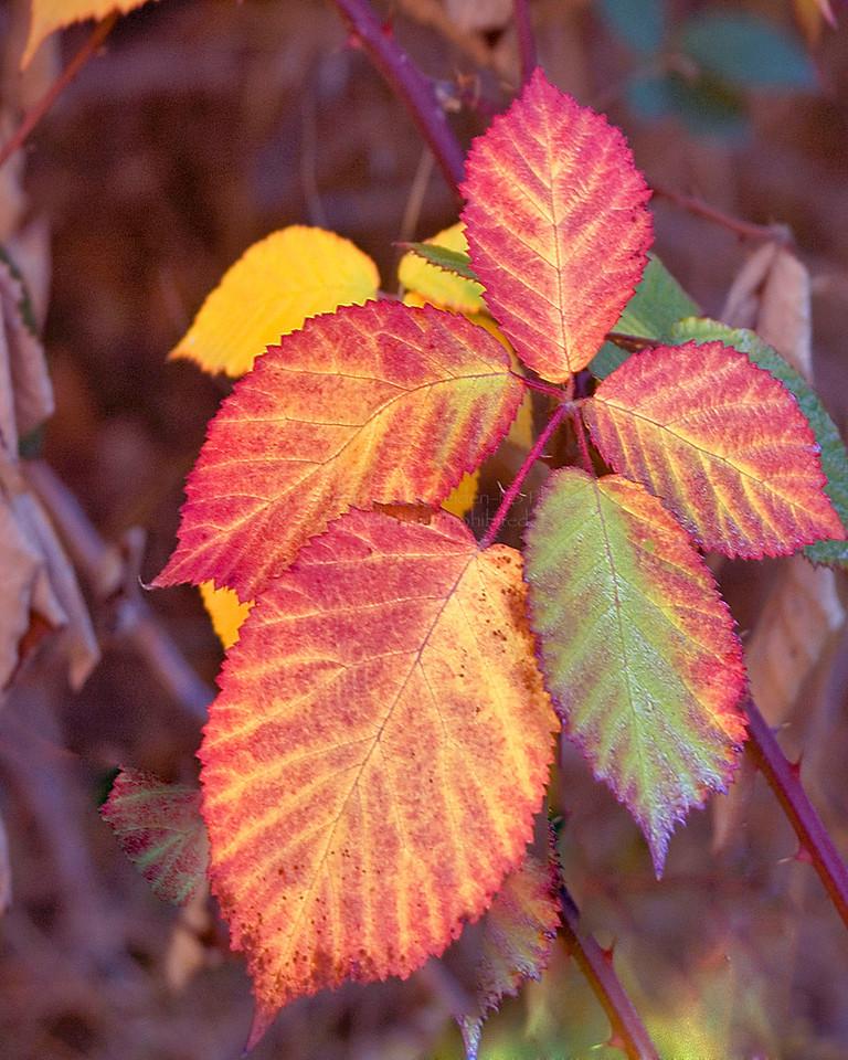 Autumn Leaves<br /> Yosemite, California