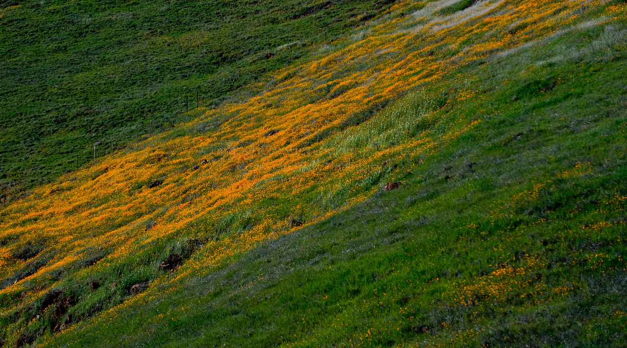 Poppies<br /> Pine Flat, California