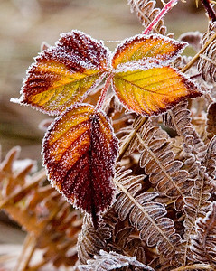 Frozen Leaves Yosemite, California