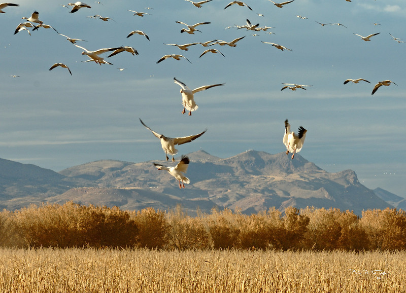 Bosque del Apache.  Snow geese coming in for a landing in an open field.  December 2010.