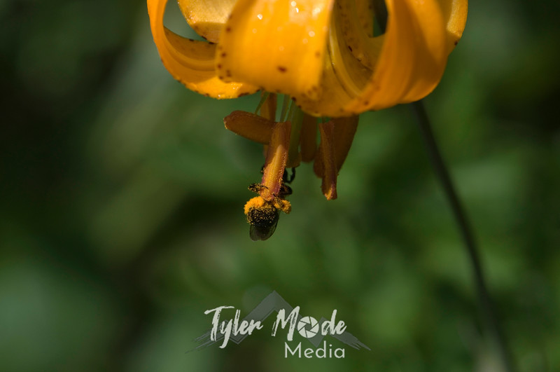 85  G Tiger Lily and Bee
