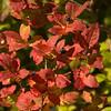 114  G Huckleberry Bush V