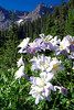 Columbines and Mt.