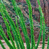 Ocotillo, Parker Cliffs