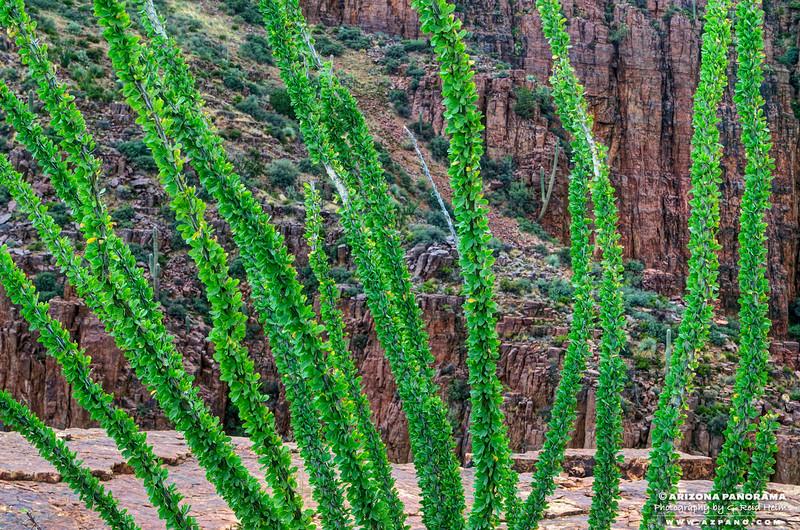 Ocotillo, Parker Cliffs