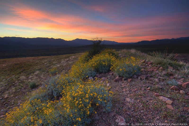 Brittlebush Sunset