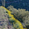 A-Cross Road Brittlebush Bloom