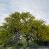 Palo Verde Springtime Heaven