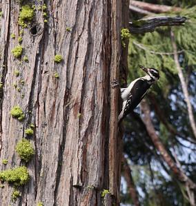 Hairy woodpecker on a cedar