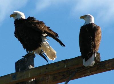 Ruffled up Bald Eagle at Tulelake, CA