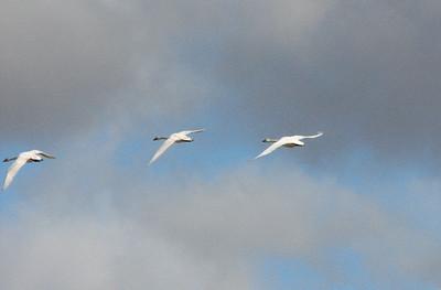 Tundra Swan's in flight