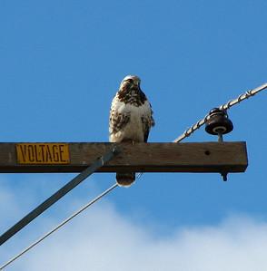 Rough-legged hawk on powerpole