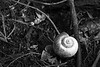 Apple snail shell