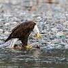 Skagit Bald Eagle 8 12-2014
