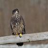 Juvenile Bald Eagle12-2013