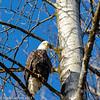 Bald Eagle 3 12-2013
