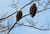 Bald Eagle Pair 12-2013