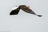 Skagit Bald Eagle 9 12-2014