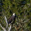Bald Eagle 1 12-2013