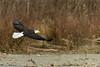 Bald Eagle Flight 2 12-2013