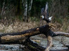 Skagit Bald Eagle 7 12-2014