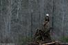 Skagit Bald Eagle 6 12-2014