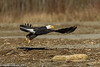 Bald Eagle Flight 12-2013